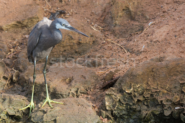 A pale Western Reef Heron standing on rocks above the tide line Stock photo © davemontreuil