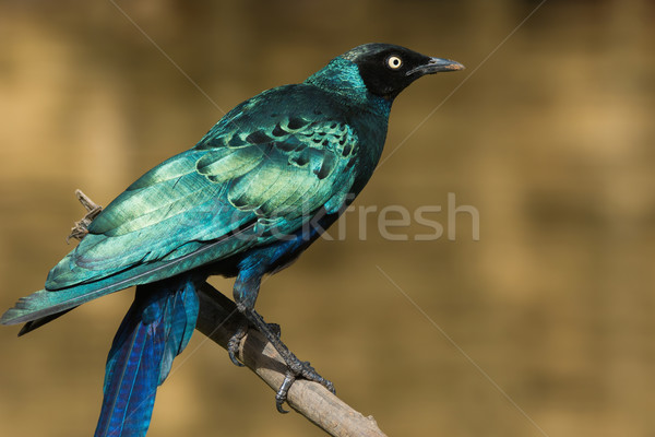A Long-Tailed Starling (Lamprotornis chalcurus) perched on a bra Stock photo © davemontreuil