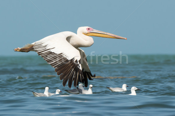 A Great White Pelican (Pelecanus onocrotalus) flying past floati Stock photo © davemontreuil