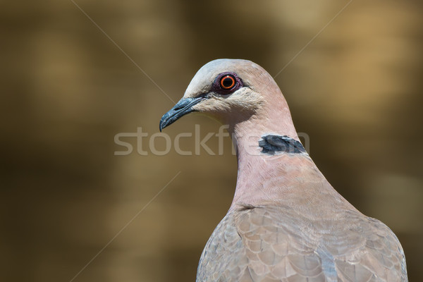 Portrait of a Red-eyed Dove (Streptopelia semitorquata) Stock photo © davemontreuil