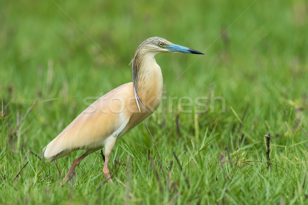 Squacco Heron (Ardeola ralloides) walking through a sedge filled Stock photo © davemontreuil