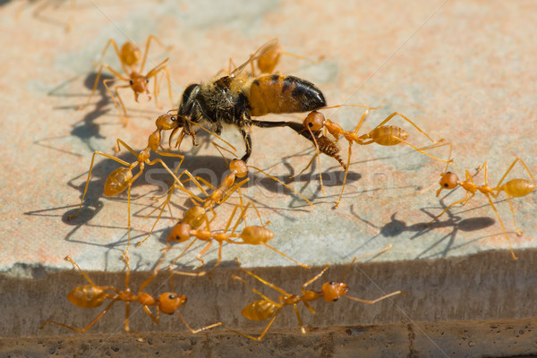 Hangyák háziméh otthon csoport együtt dolgozni Afrika Stock fotó © davemontreuil