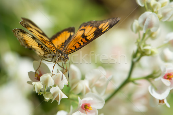 蝶 飲料 ネクター クラスタ 白い花 ストックフォト © davemontreuil