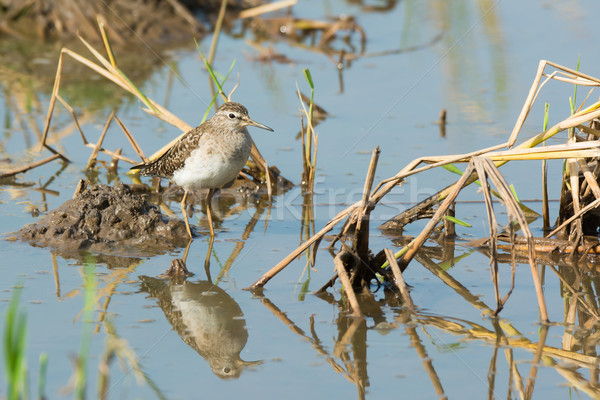 Wood Sandpiper (Tringa glareola) in rice pond Stock photo © davemontreuil