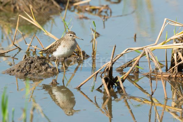 Bois riz étang permanent eau domaine Photo stock © davemontreuil