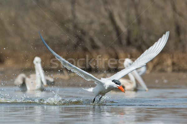 Caspian Tern taking to the air in front of two pelicans Stock photo © davemontreuil