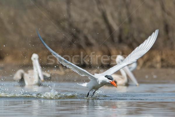Air deux plongée eau oiseau Photo stock © davemontreuil