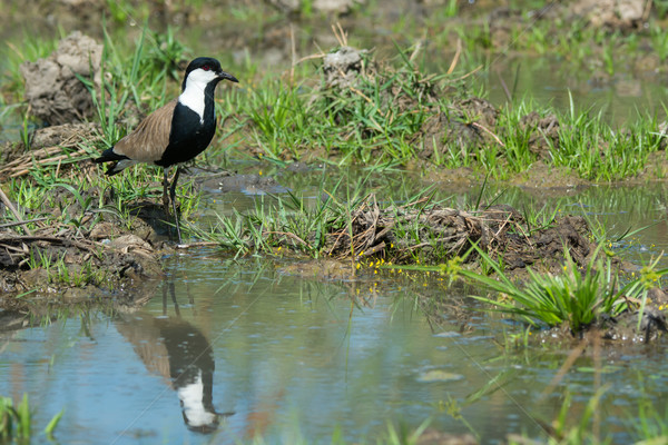 Spur-Winged Plover (Vanellus Spinosus) reflected in a pond lined Stock photo © davemontreuil