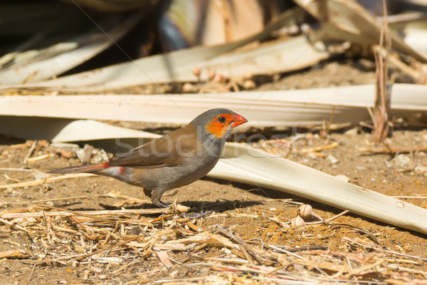 Orange-Cheeked Waxbill looking for seeds in the sand Stock photo © davemontreuil