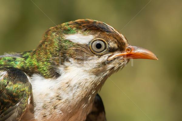 Portret jonge koekoek gedetailleerd jeugdig vogel Stockfoto © davemontreuil