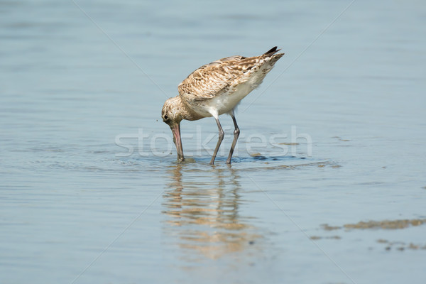 Bar-tailed Godwit just before he submerges his head Stock photo © davemontreuil