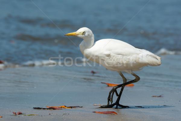 ストックフォト: 牛 · 徒歩 · ビーチ · 海 · 砂 · サーフィン