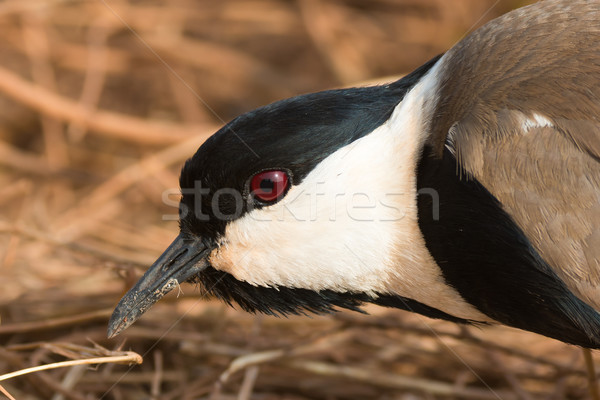 Spur-Winged Plover (Vanellus Spinosus) portrait Stock photo © davemontreuil