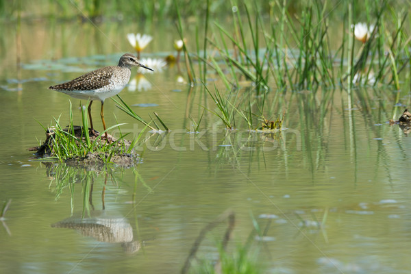 Wood Sandpiper (Tringa glareola) standing on an island in a love Stock photo © davemontreuil
