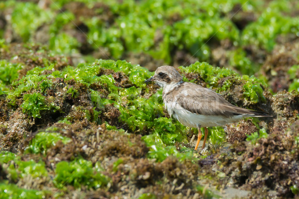 Ringed Plover standing on seaweed covered rocks at low tide Stock photo © davemontreuil