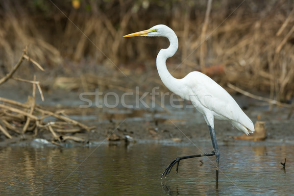 Great White Egret wading slowly through the mangroves Stock photo © davemontreuil