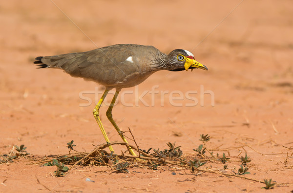 An African Wattled Lapwing (Vanellus Senegallus) on the alert Stock photo © davemontreuil