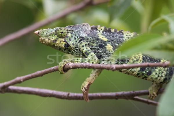 Retrato camaleão mão olho caminhada África Foto stock © davemontreuil