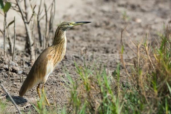 鷺 泥 アフリカ プロファイル 美しい ストックフォト © davemontreuil