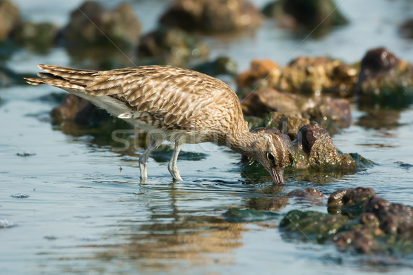 Whimbrel hunting for crabs Stock photo © davemontreuil