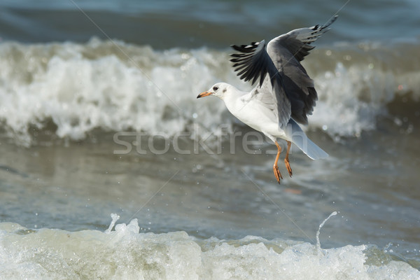 Young Grey-Headed Gull hovering over waves Stock photo © davemontreuil