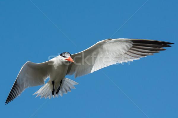 Zweven vlucht afrika vleugels blauwe hemel mooie Stockfoto © davemontreuil