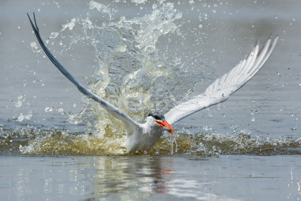 Poissons impressionnant eau oiseau Afrique succès Photo stock © davemontreuil
