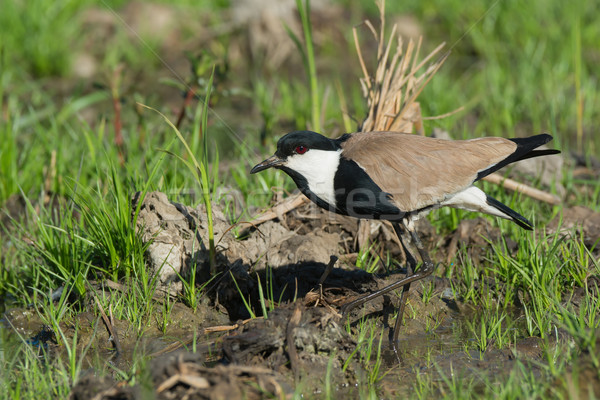 Stock photo: Spur-Winged Lapwing (Vanellus Spinosus) taking a careful step in