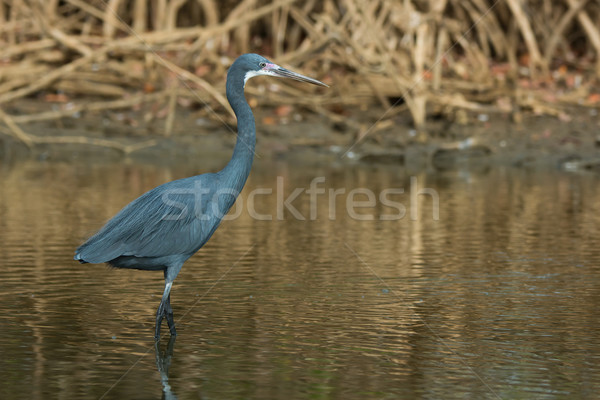 A Western Reef Heron with its face flushed purple in the mangrov Stock photo © davemontreuil