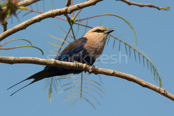 A Blue-Bellied Roller (Coracias cyanogaster) perched on a branch Stock photo © davemontreuil