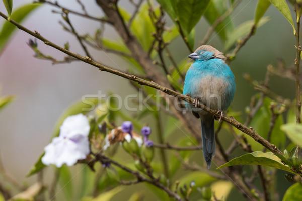Stock photo: Blue waxbill (Uraeginthus angolensis) asleep on a branch