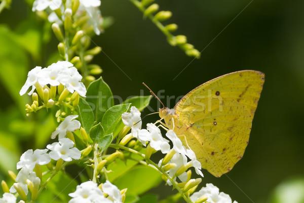 Afrikai női pillangó iszik nektár fehér virágok Stock fotó © davemontreuil