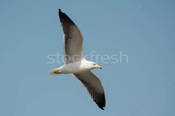 Lesser Black-Backed Gull (Larus fuscus) in flight Stock photo © davemontreuil