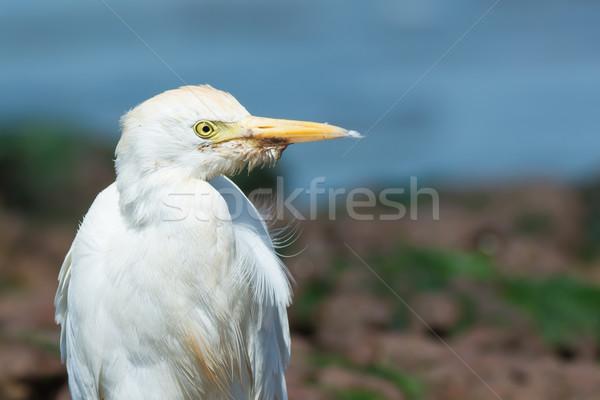 скота пляж воды птица песок Сток-фото © davemontreuil