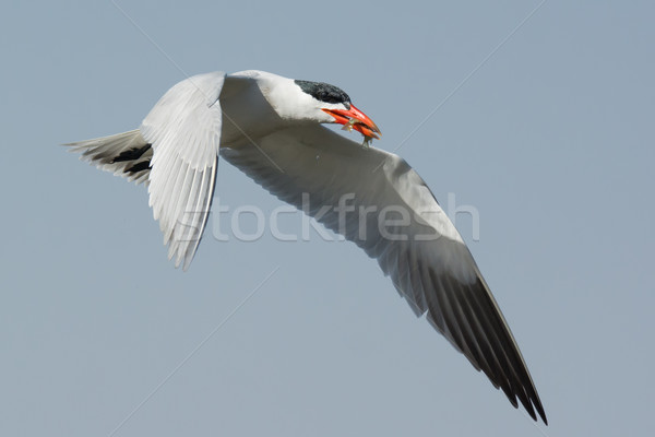 Caspian Tern in flight with two small fish in its beak Stock photo © davemontreuil