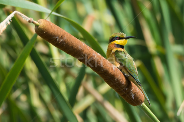 Little Bee-Eater perched on a cattail Stock photo © davemontreuil