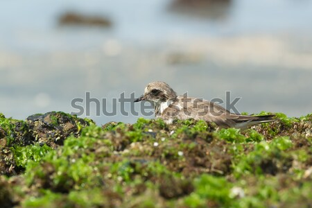 Ringed Plover resting in seaweed on the beach Stock photo © davemontreuil