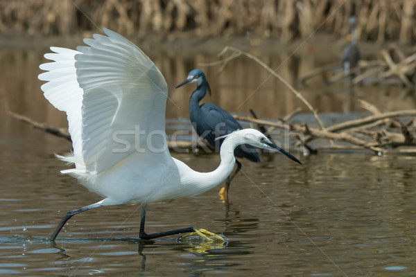 A white Western Reef Heron (Egretta gularis) chasing a fish Stock photo © davemontreuil