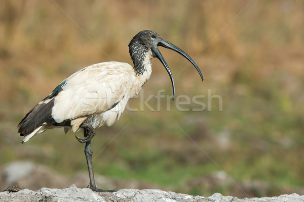 A Sacred Ibis (Threskiornis aethiopicus) with mouth open standin Stock photo © davemontreuil
