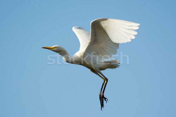Vee vlucht af afrika witte Stockfoto © davemontreuil