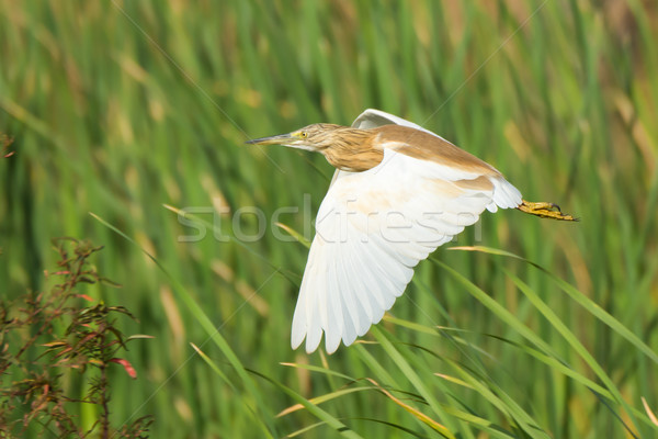 Squacco Heron (Ardeola raloides) in flight Stock photo © davemontreuil