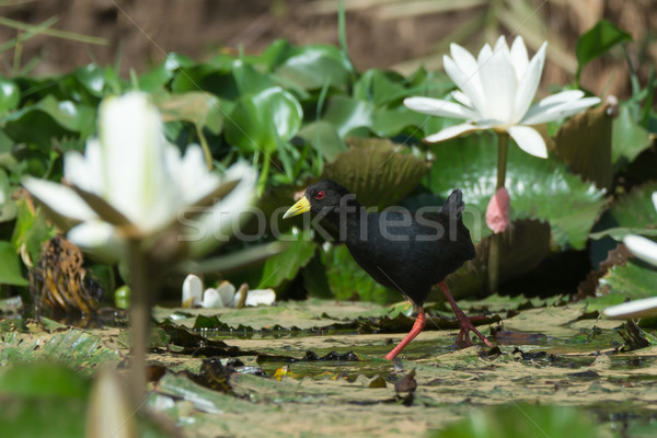 Сток-фото: черный · ходьбе · белый · Лилия · цветы · Африка