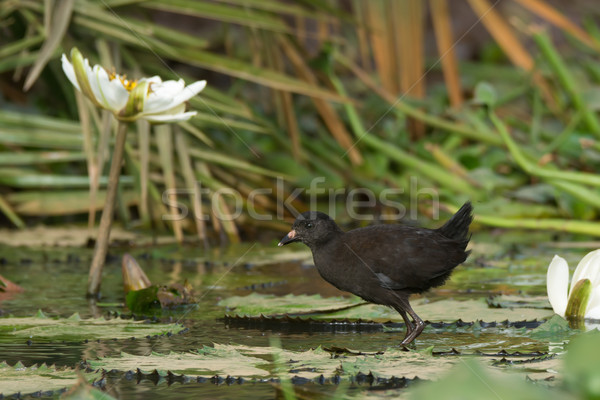 Young Black Crake walking on lily pads Stock photo © davemontreuil