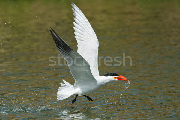 Vlucht omhoog water vogel afrika vleugels Stockfoto © davemontreuil