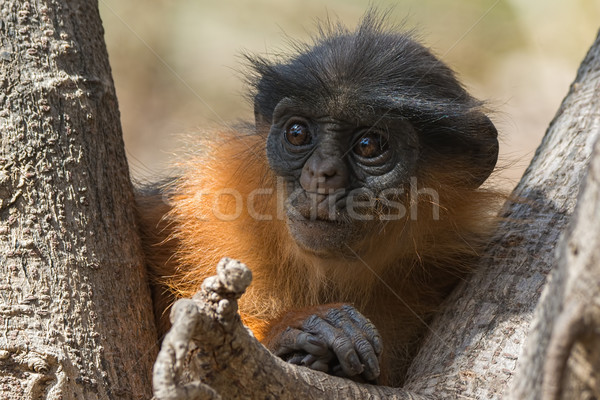 Young Western Red Colobus Monkey looking concerned Stock photo © davemontreuil