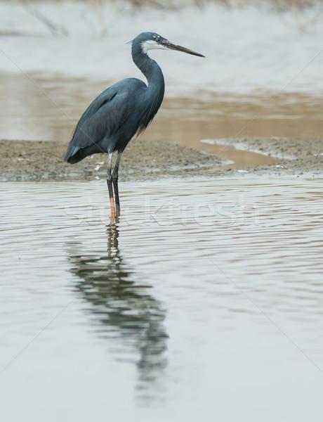 西部 鷺 立って 浅い 水 顔 ストックフォト © davemontreuil