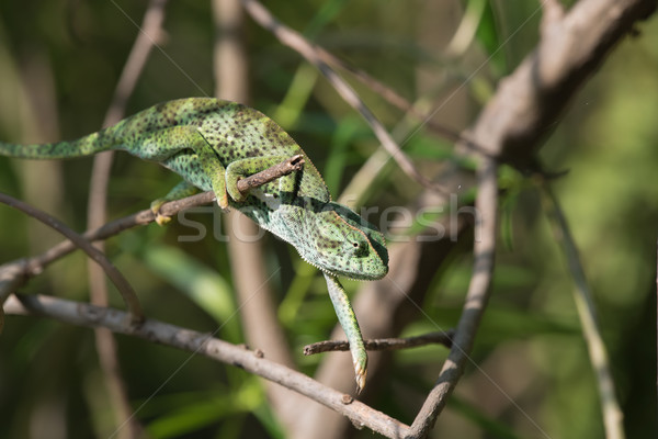 A Chameleon (Chamaeleo senegalensis) slowly reaching for the nex Stock photo © davemontreuil