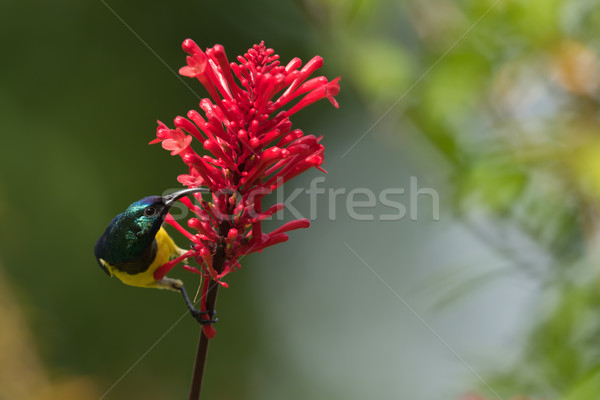 Stock photo: Yellow-bellied sunbird (Nectarina venusta) perched for nectar dr