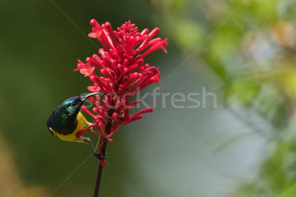 Nectar dr mannelijke drinken bloem afrika Stockfoto © davemontreuil