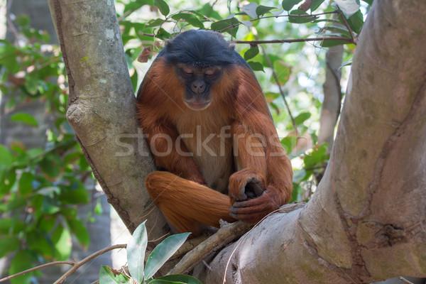 Mannelijke westerse Rood aap boom Stockfoto © davemontreuil